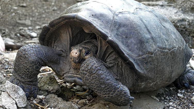 La tortue géante retrouvé en 2019 sur l'île de Fernandina dans les Galapagos est uneChelonoidis Phantasticus. (RODRIGO BUENDIA / AFP)