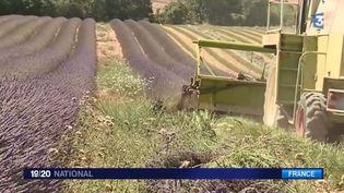 La lavande est en pleine floraison, la récolte a un peu d'avance sur le calendrier. (FRANCE 3)
