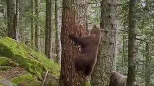 Pyrénées : la prolifération des ours ravit les écologistes mais inquiète les éleveurs (FRANCE 2)