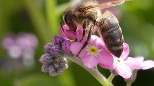 Une abeille butine une myosotis, le 24 avril 2019 à Munich (Allemagne). (RACHEL BOßMEYER / DPA / AFP)