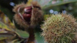 Ardèche : la saison des châtaignes, de la forêt à l'assiette (France 2)