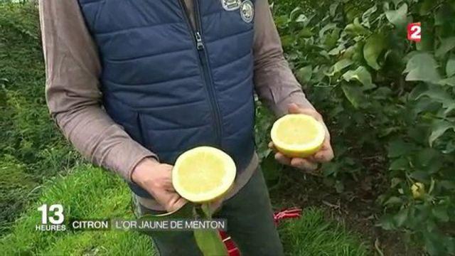 Découverte : le citron, l'or jaune de Menton