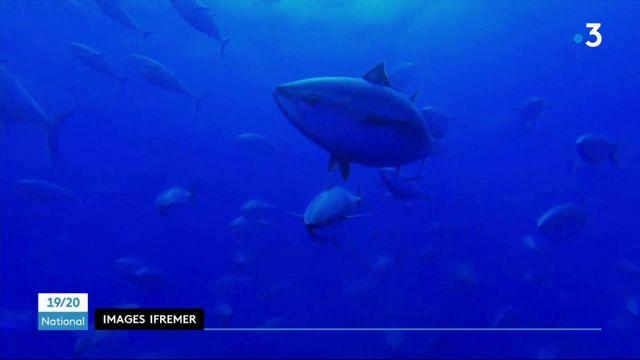 Pêche : le thon rouge est de retour