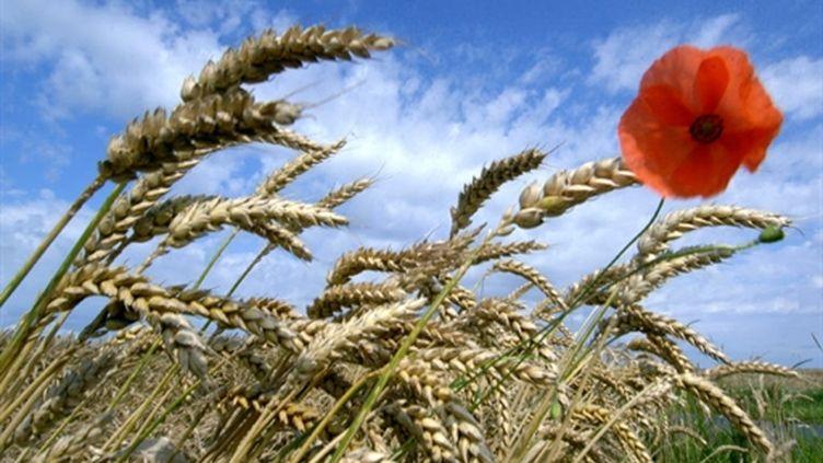 Champ de blé, avec coquelicot (AFP/MYCHELE DANIAU)