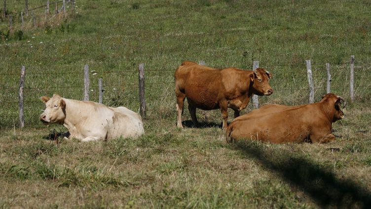 Des vaches couchées dans une prairie. (CATHERINE GRAIN / COMMUNICATION)