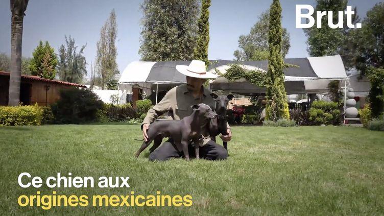 VIDEO. Qu'est ce qu'un xoloitzcuintle, ce chien sacré pour les Aztèques ? (BRUT)