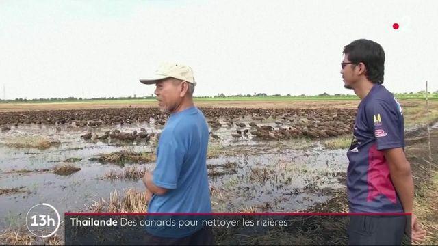 Thaïlande : des canards pour assainir les plantations de riz
