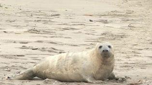Manche : la baie de Somme, théâtre des naissances de phoques gris (France 3)