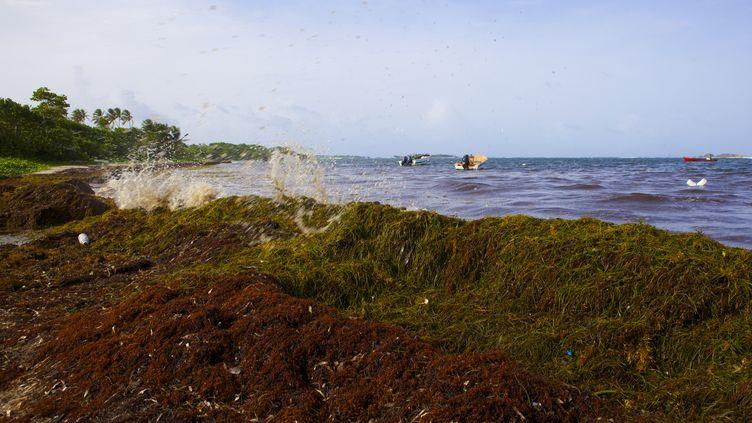 L'algue sargasse devient toxique une fois échouée sur le littoral (photo d'algues sargasse échouées sur une plage de Martinique en 2011). (PATRICE COPPEE / AFP)