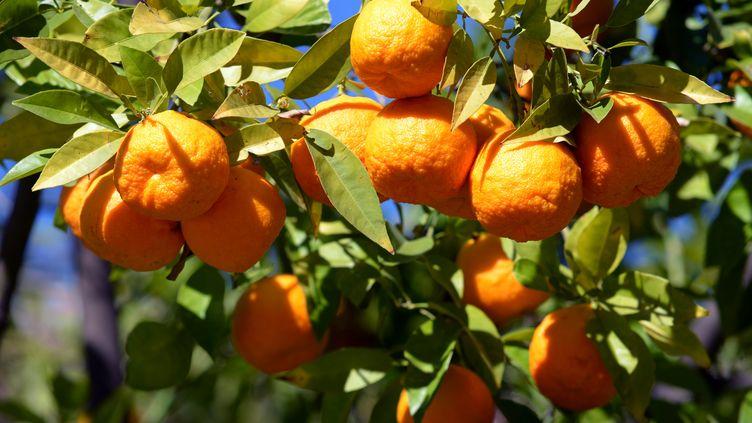 Illustration : Production d'oranges à Grenade en Espagne. (THOMAS MUNCKE / DPA)