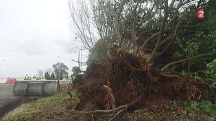 Un arbre couché par les vents violents, en Haute-Corse, le 5 mars 2015. (FRANCE 2)