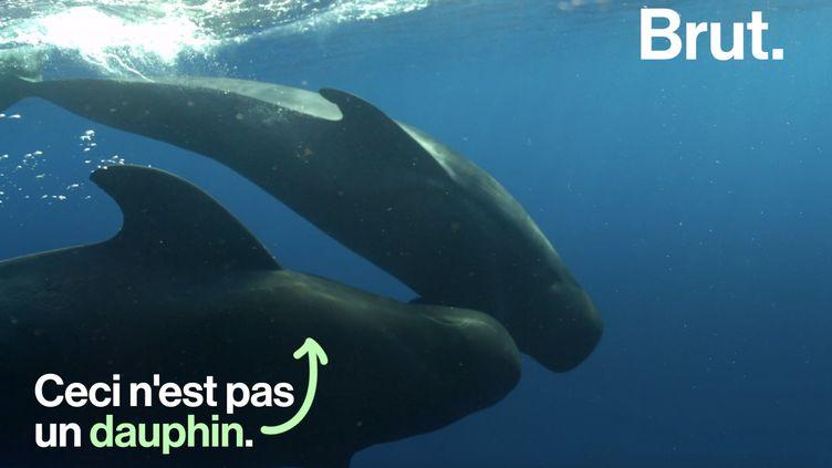 VIDEO. Souvent confondu avec le dauphin, qu'est-ce qu'un globicéphale ? (BRUT)