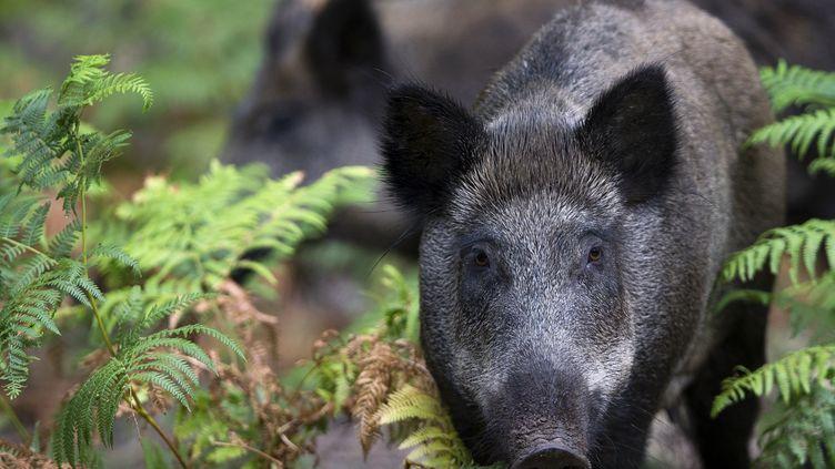 Un sanglier en forêt de Rambouillet (Yvelines). (JOEL SAGET / AFP)