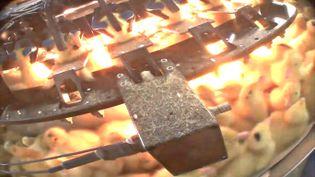 Capture d'écran de la vidéo réalisée par l'association L214 sur le broyage de canetons pour la production du foie gras, diffusée le 21 décembre 2015. (L214 - ETHIQUE ET ANIMAUX)