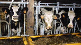 Une batterie de vaches de race hollandaise Prim'Holstein. (MARCEL MOCHET / AFP)