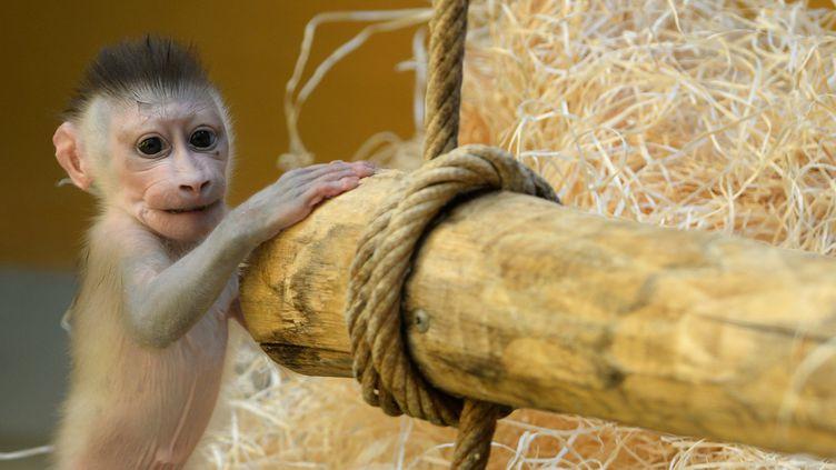 Un bébé singe, baptisé Pinto, dans un zoo de Munich (Allemagne), le 24 juin 2015. (CHRISTOF STACHE / AFP)