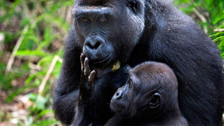 (Les gorilles du Cameroun eux-aussi à l'origine de l'épidémie de Sida © REUTERS   Finbarr O'Reilly)