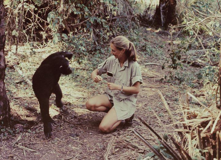 Jane Goodall, dans un documentaire tourné dans le parc de Gombe et diffusé sur CBS le 22 décembre 1965. (CBS PHOTO ARCHIVE / CBS / GETTY IMAGES)