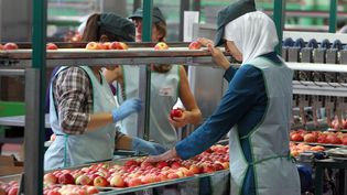 Une femme portant la voile travaille dans une exploitation de fruits à Mauguio (Hérault), le 10 septembre 2012. (MAXPPP)