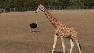 Dans le feuilleton de la semaine, la rédaction du 13 Heures est partie à la découverte du parc zoo du Reynou situé à côté de Limoges (Haute-Vienne). La réserve animalière tente de se renouveler constamment et cela passe par des échanges d'animaux avec d'autres parcs. (FRANCE 2)