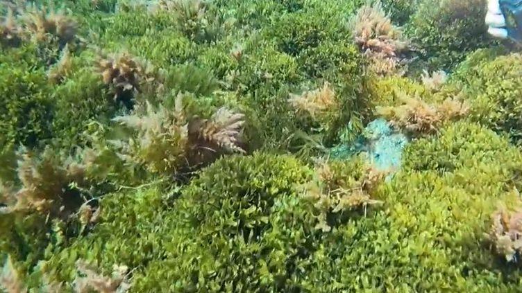 Une algue verte inquiète les scientifiques à Marseille (Bouches-du-Rhône). Sa prolifération dans la calanque de Callelongue interroge sur un éventuel impact sur la faune et la flore locale. (CAPTURE ECRAN FRANCE 2)