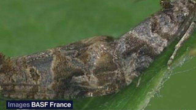 La technique de la confusion sexuelle des papillons pour sauver les vignes
