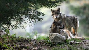 Loups dans le parc du Mercantour (Alpes-Maritimes), le 17 octobre 2016. (VALERY HACHE / AFP)