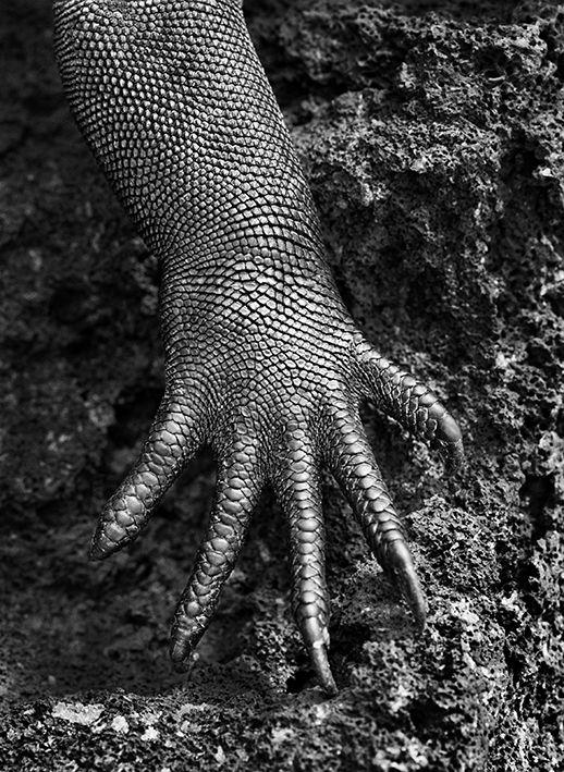 "Iguane marin (""Amblyrhynchus cristatus""). Galápagos, Equateur, 2004. (© SEBASTIÃO SALGADO / AMAZONAS)"