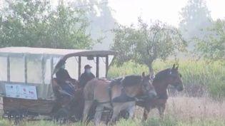 Le Trait du Nord est menacé de disparition. Ce cheval de trait, réputé pour sa force tranquille, remplace depuis peu le bus scolaire entre deux villages des Hauts-de-France. (FRANCE 3)