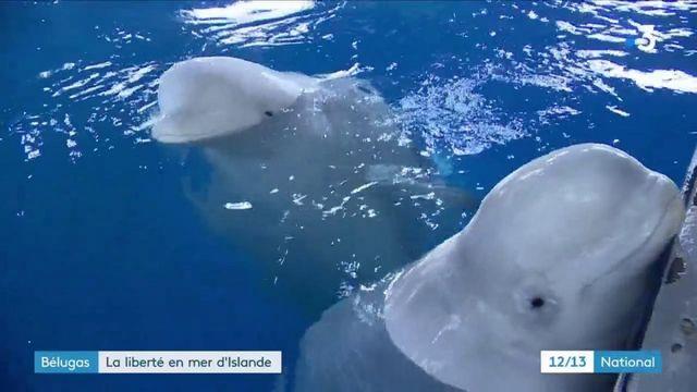 Islande : deux bélugas ont été remis en liberté