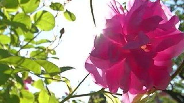 La récolte des roses de mai a commencé