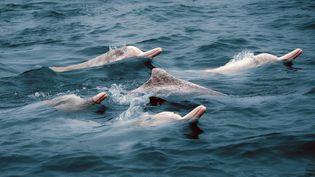 Les dauphins à flancs blancspeuventmesurer jusqu'à un peu moins de trois mètres. (ZHAO YI / XINHUA / AFP)