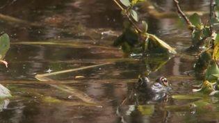Un xénope lisse, une espèce invasive d'amphibiens dont l'Union européenne a financé en partie l'extraction des mares de France. (FRANCE 2)