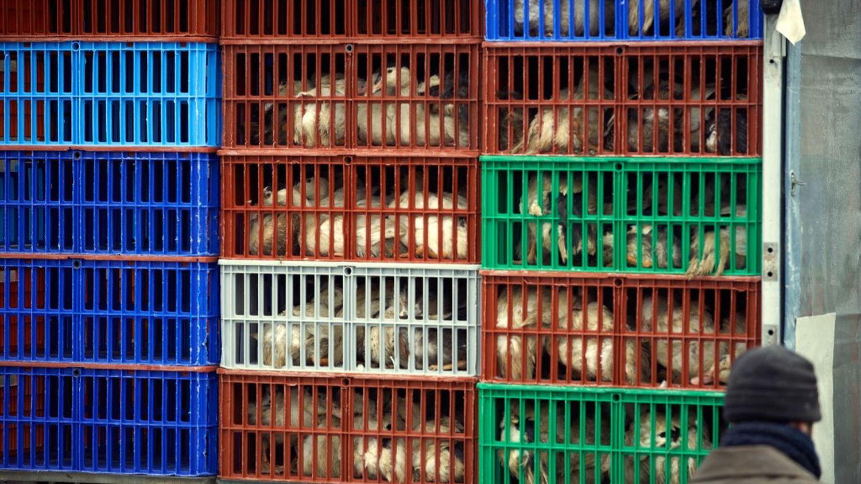 Grippe aviaire H5N8 : pas de risque connu