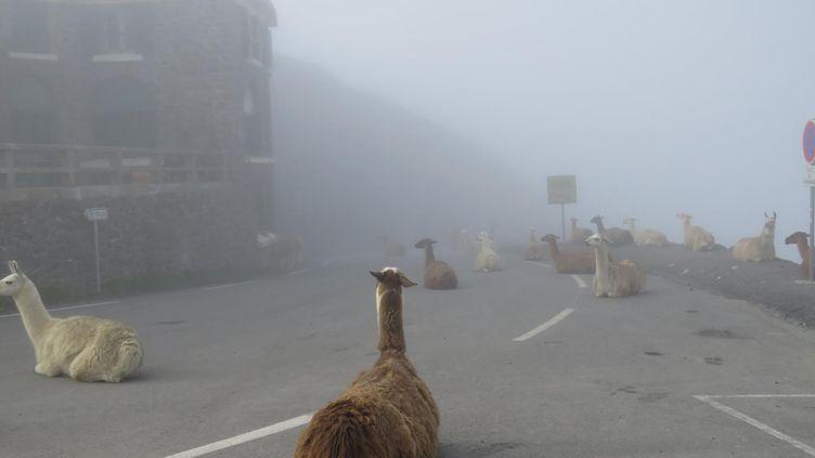 Des lamas au col du Toumalet (Hautes-Pyrénées), le 2 juillet 2016. (JOEL ADAGAS / FRANCE 3 MIDI-PYRENEES)