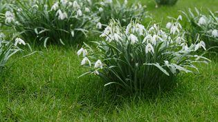 Les perce-neige se naturalisent vite et bien. Un atout dans un jardin pour oublier l'hiver ! (ISABELLE MORAND / RADIO FRANCE / FRANCE INFO)
