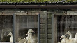 Des canards d'élevage. (OLI SCARFF / AFP)