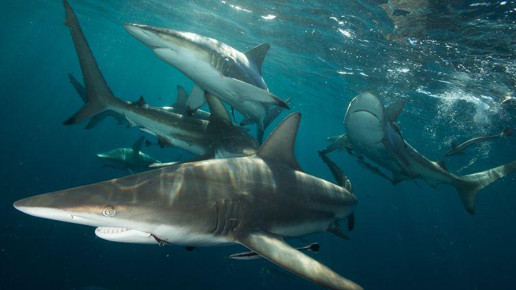 Des requins citrons et des requins gris étaient en train d'attaquer un banc de poissons près des côtes de Nouméa. (MAURICIO HANDLER / NATIONAL GEOGRAPHIC / GUETTY IMAGES)