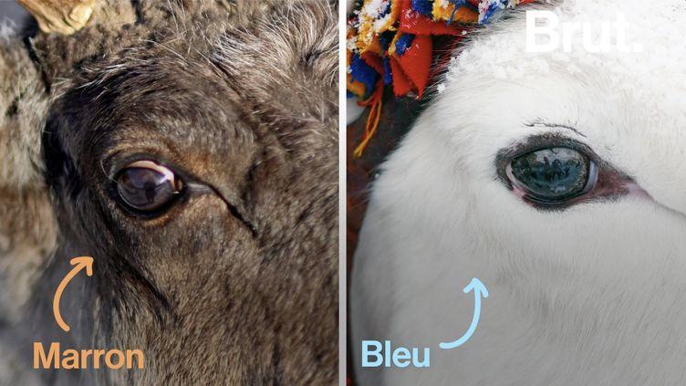 VIDEO. Pourquoi les yeux des rennes changent de couleur en hiver ? (BRUT)