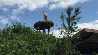 Une cigogne sur son nid àHunawihr (Haut-Rhin) (GUILLAUME CHHUM / RADIO FRANCE)