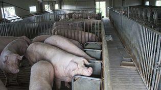 Des porcs dans un élevage en France. (HELENE VALENZUELA / AFP)