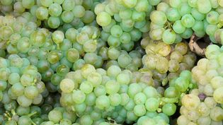 Viticulture : le vin bio se développe de plus en plus (France 3)