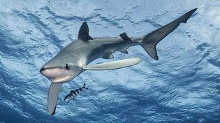 Un requin bleu dans l'archipel des Açores, en 2017 (photo d'illustration). (CATERS / SIPA)
