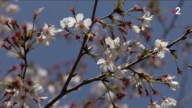 Chine : les cerisiers en fleurs, un signe de renaissance à Wuhan