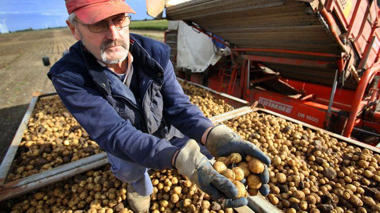 Un agronome présente des pommes de terre du groupe BASFgénétiquement modifiées mais qui ne sont pas destinées à la consommation près de Zepkow (Allemagne), le 29 septembre 2010. (JENS BÜTTNER / DPA / MAXPPP)