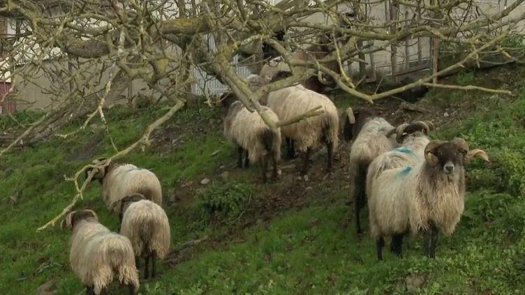 Noël : un agneau de lait pour le repas (France 2)