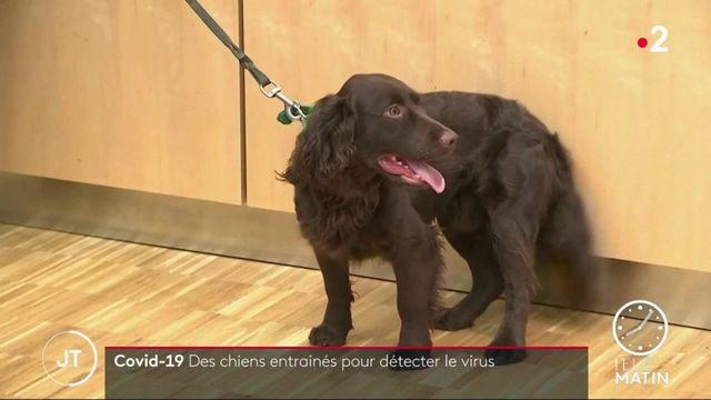 Covid-19: en Allemagne, des chiens entraînés pour détecter le virus