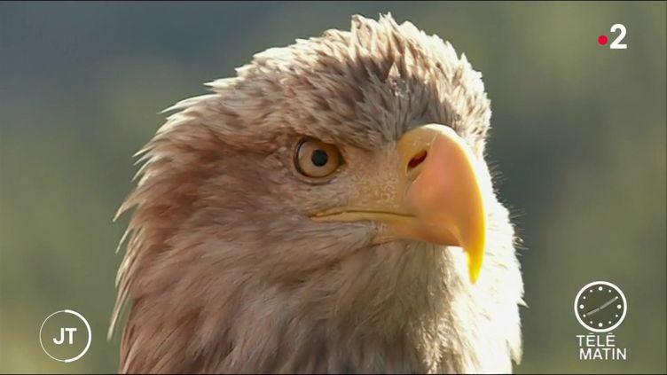 L'aigle Victor (France 2)