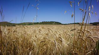 Un champ de blé photographié le 12 juillet 2021, avant la moisson, à Cazalrenoux (Aude). (JUSTINE BONNERY / AFP)