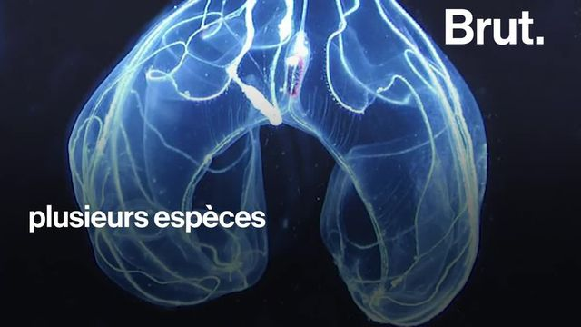 Les battements de cils de ces étranges créatures marines lumineuses sont des plus envoûtants. Voici les cténophores.